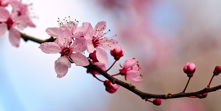 cherry blossom 3 by raylau d4zo05p